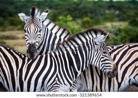 Two zebras playing with each other, South Africa. - stock photo
