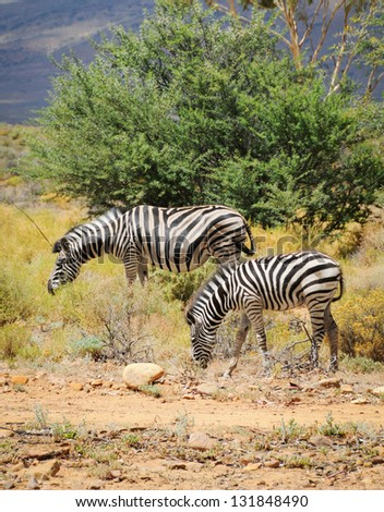 Two zepras in wild african bush: foal with mare - stock photo