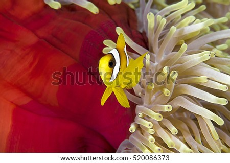 Twoband anemonefish, Amphiprion bicinctus, in his colorful host sea anemone, heteractis magnifica, Sharm-el Sheikh, Red Sea.