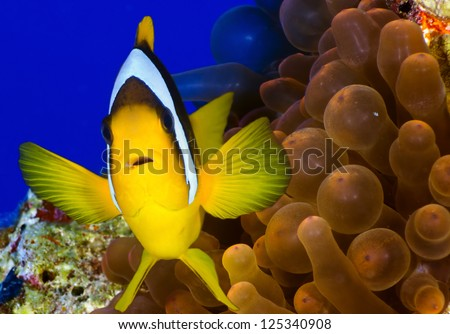 Twoband anemonefish (Amphiprion bicinctus) on the background of anemone, Red Sea, Egypt. - stock photo