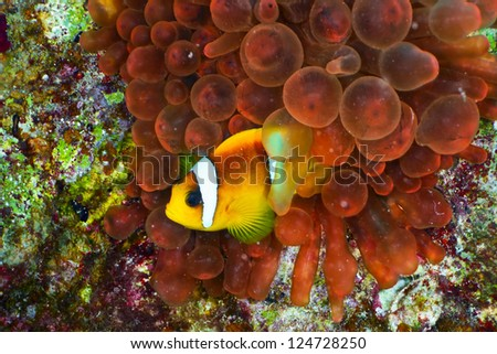 Twoband anemonefish (Amphiprion bicinctus) on the background of  red anemone, Red Sea, Egypt. - stock photo