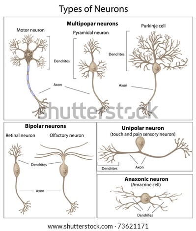 Types of Neurons - stock photo