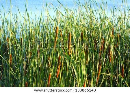 Typha latifolia, Common Bulrush, Broadleaf Cattail, blackamoor, flag, mace reed, water-torch - stock photo