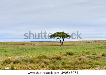 Typical african landscape. Etosha national park at sunrise time. Big solitary umbrella acacia tree and Etosha pan (lake) on background. Namibia - stock photo