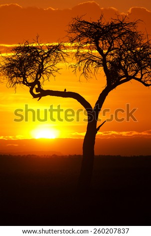 Typical african sunset with acacia tree in Masai Mara, Kenya