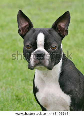 Typical Boston Terrier in the spring garden