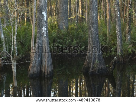 Typical Cypress Swamp in Florida