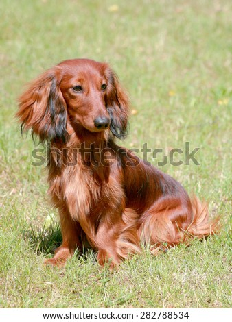 Typical Dachshund Long-haired dog in the garden - stock photo