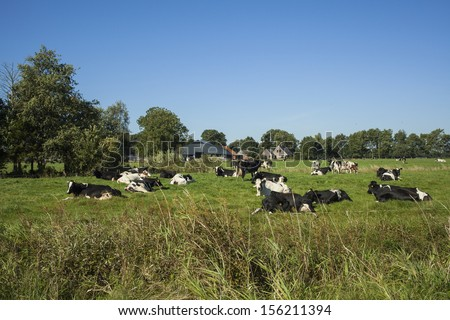 Typical Dutch landscape with a farm and cows in the pastures