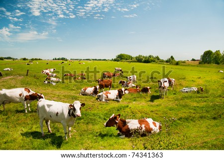 Typical Dutch landscape with cows in the pastures