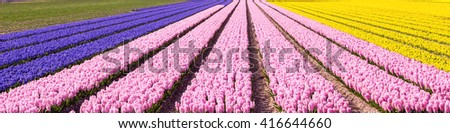 Typical Dutch spring flower panorama with colorful rows of Hyacinth and daffodil at the field in Holland - stock photo