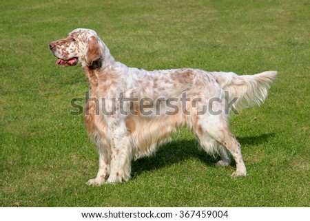 Typical English Setter  on a green grass lawn - stock photo