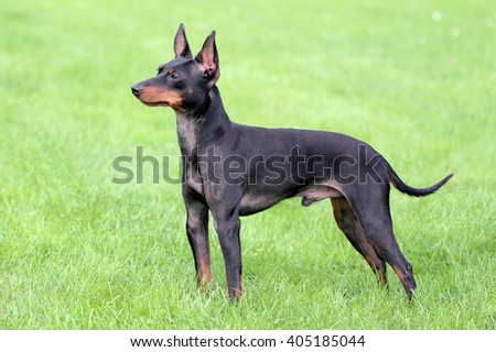 Typical English Toy Terrier  in the spring garden - stock photo