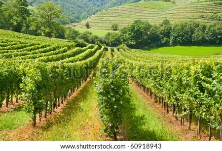 Typical european rows of vineyard - stock photo