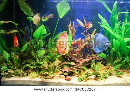 Typical home freshwater aquarium with green plants and tropical fish.