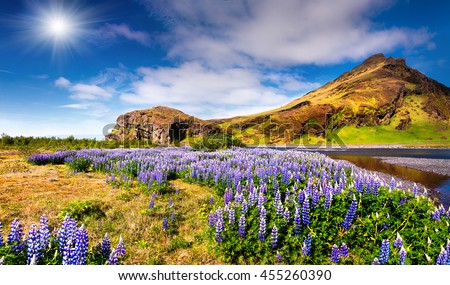 Typical Icelandic landscape with field of blooming lupine flowers in the June. Sunny summer morning in the south coast of Iceland, Europe. Artistic style post processed photo. - stock photo