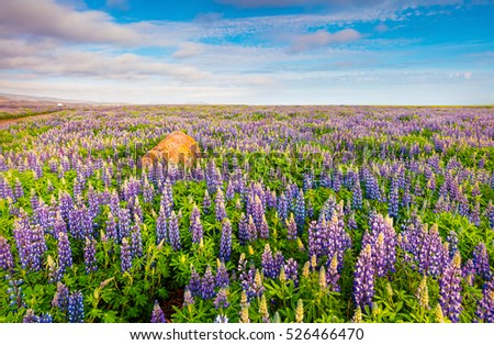 Typical Icelandic landscape with field of blooming lupine flowers in the June. Sunny summer morning in the east coast of Iceland, Europe. Artistic style post processed photo.