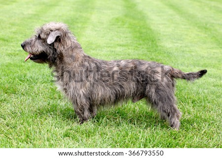 Typical Imaal Terrier on a green grass lawn - stock photo