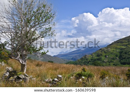 Typical Irish countryside. A rugged holly tree with sun bleached trunk on a stone wall beside a bog, outcrops of rock on a green hill, distant mountains and blue sky with clouds for use as copy space. - stock photo