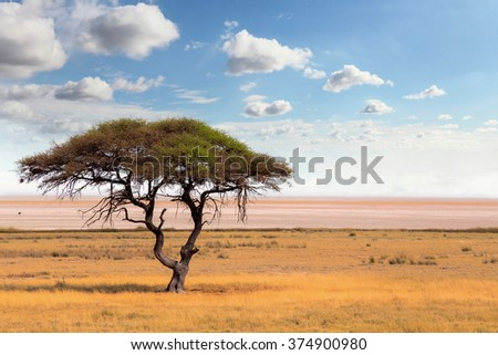 Typical large Acacia tree in the open savanna plains of East Africa, Botswana Hwankee - stock photo