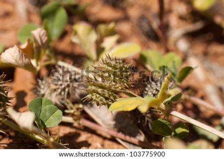 Typical Mediterranean plant with scientific name Tribulus terrestris also known ironically as foot kisser. - stock photo