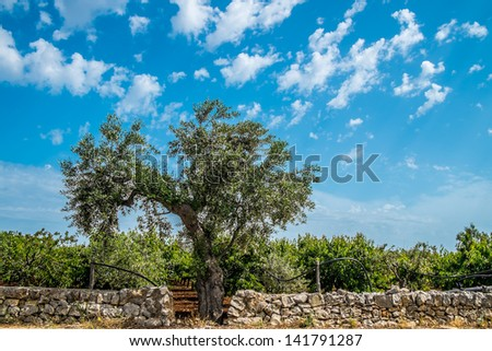 Typical olive tree in the Apulia region, south of italy