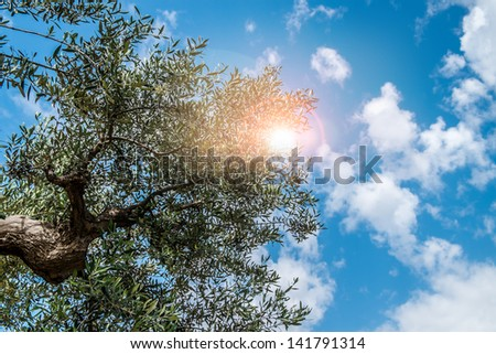 Typical olive tree in the Apulia region, south of italy - stock photo