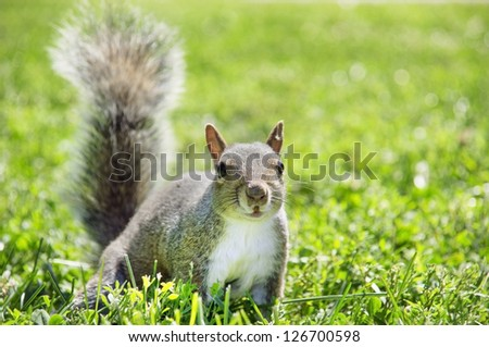 Typical squirrel of American parks. Squirrels are indigenous to the Americas, Eurasia, and Africa and have been introduced to Australia. - stock photo