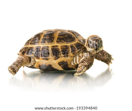 typical tortoise on white background; isolated, close up