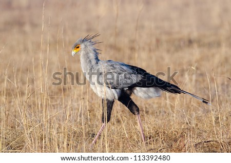 Typical view of a Secretary Bird walking in grasslands looking for prey - stock photo