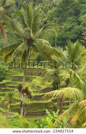 Ubud rice fields in Bali, Ubud, Bali, February 2014 - stock photo