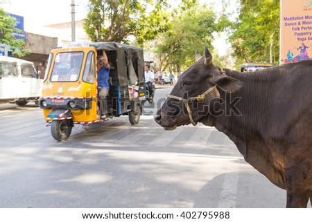 UDAIPUR, INDIA - 20TH MARCH 2016: A cow at the side of a road in Udaipur, India. A Tuk Tuk Rickshaw can be seen on the road.