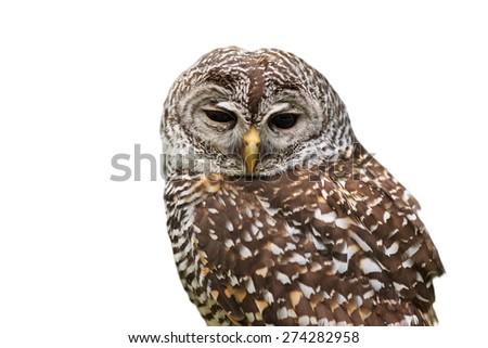 ufous-legged owl isolated - stock photo