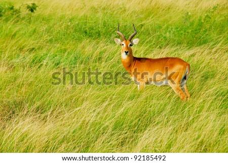 Uganda Kob, Queen Elizabeth National Park, Uganda - stock photo