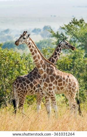 Uganda. Queen Elizabeth National Park.The giraffes on savanna. Giraffa camelopardalis. - stock photo