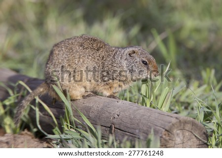 Uinta ground squirrel in Grand Teton National park - stock photo