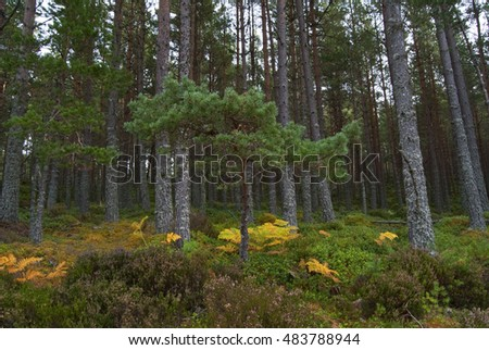 UK SCOTLAND Glenmore Forest Park -- Pine forest near Aviemore in the Glenmore Forest Park Scotland UK -- Picture by Jonathan Mitchell