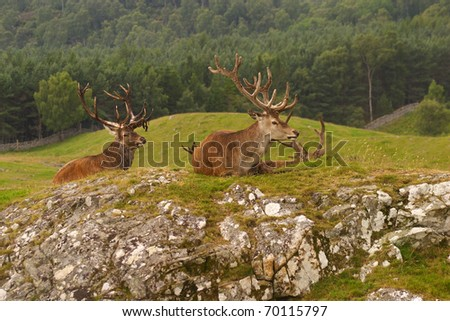 "UK Scotland Scottish highlands Red deer ""royal"" stags - stock photo"
