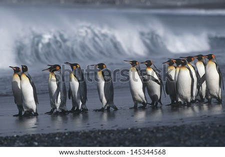 UK South Georgia Island colony of King Penguins marching on beach side view - stock photo