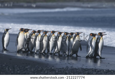 UK, South Georgia Island, colony of King Penguins marching on beach, side view - stock photo