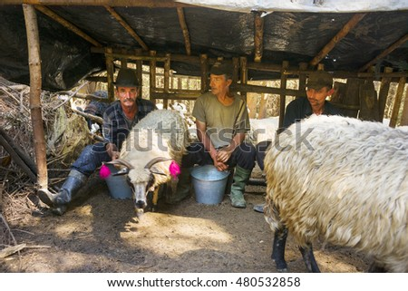 Ukraine, Kolochava - 7 August 2015: In the wild mountains of the West Ukrainian milk of the flock as a thousand years ago, only men under a special shelter from the rain two or three times a day