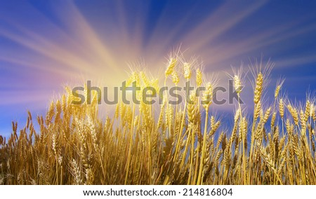 Ukraine, the wheat polarization is a symbol against the clear sky, they have a color of the national flag Our coun- one of the largest grain exporters in the world. Produce bread- respected profession - stock photo