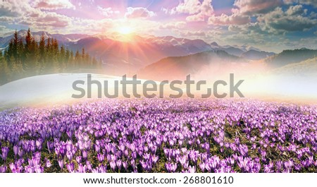 Ukraine, wild Montenegrin Mountains on the background of alpine sheep pasture in early spring in March, covered with a thick carpet of lush fantastically beautiful flowers pervotsvetov- crocus saffron - stock photo