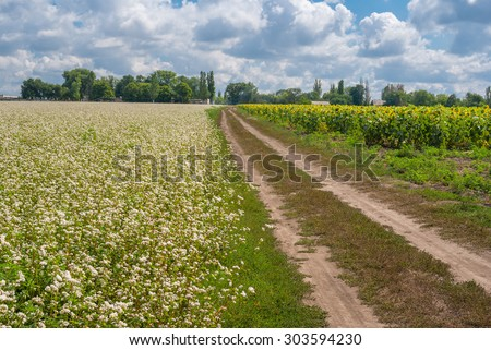 Ukrainian agricultural landscape with blossoming buckwheat and sunflower fields