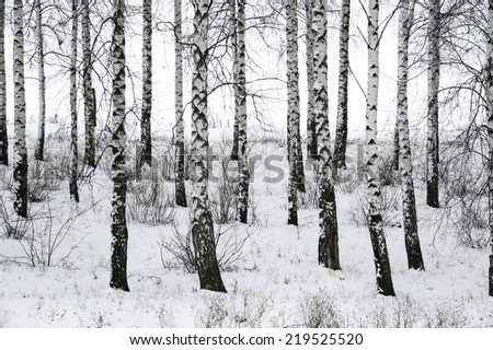 Ukrainian birch in winter - stock photo