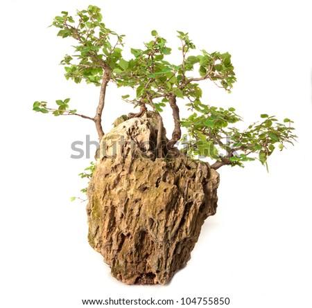Ulmus minor bonsai isolated on white - stock photo