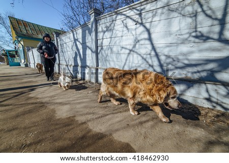 ULYANOVSK, RUSSIA - 15 MARCH 2016. The lady walking a dogs on the street - stock photo