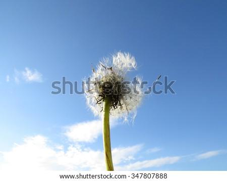 Umbrellas of dandelion against the blue sky. - stock photo