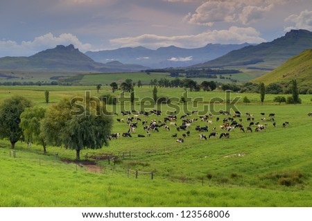 UMZIMKULU VALLEY. Holstein dairy cattle graze on a floodplain pasture against  a backdrop of the southern Drakensberg mountains