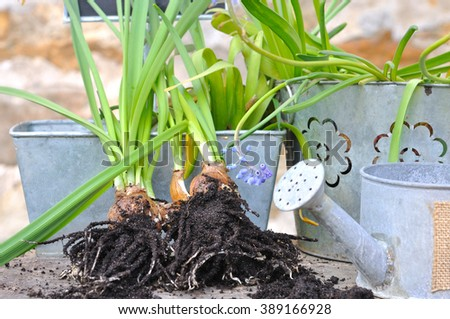 un-rooted flower bulbs in front of metal pots - stock photo